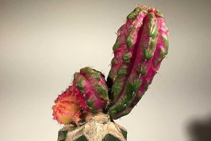 30 نوع کاکتوس برای نگهداری در خانه و باغچه