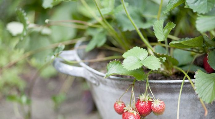 کاشت توت فرنگی